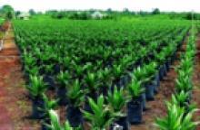 Palma africana, Curvarado